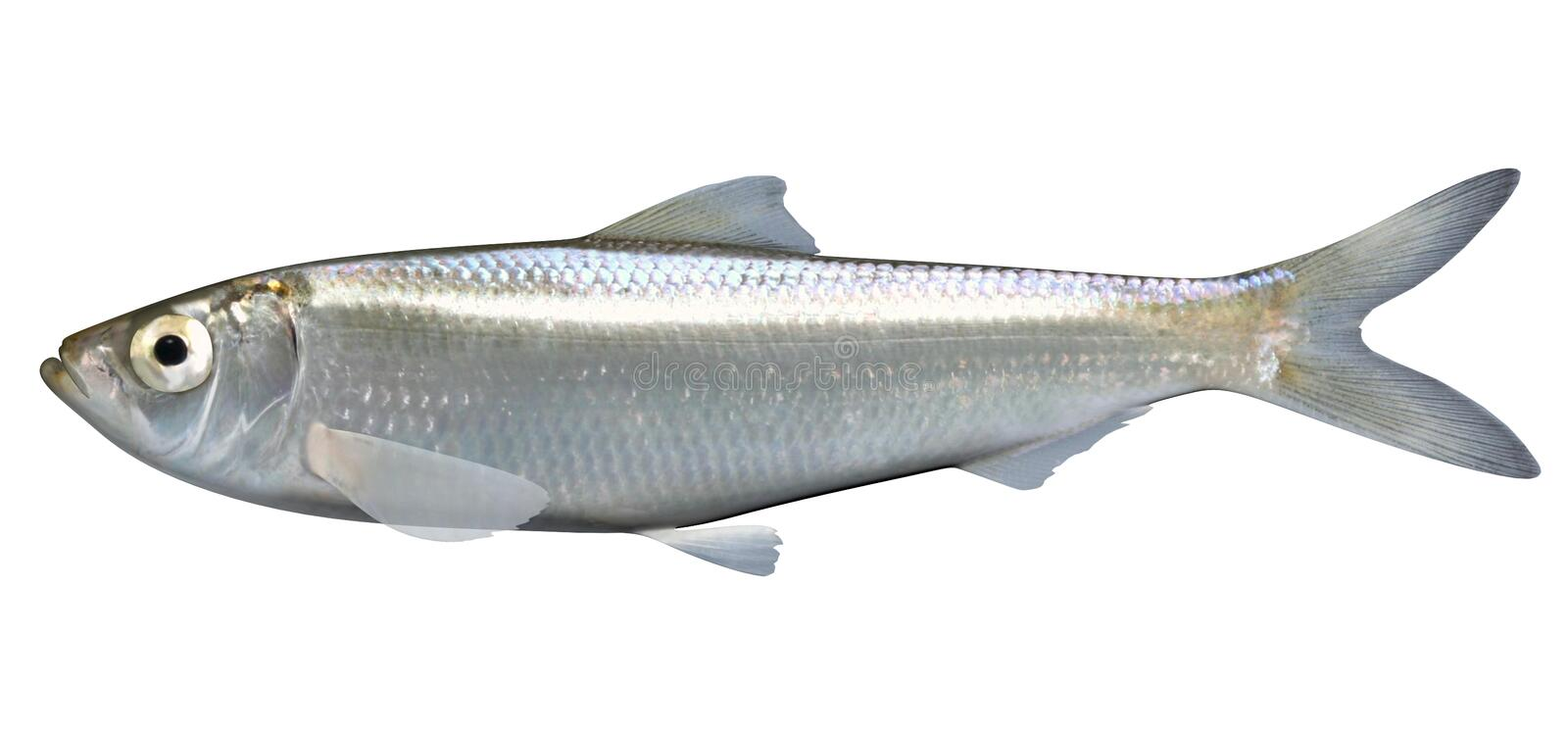 Skipjack Herring. Fish illustration on white background stock illustration