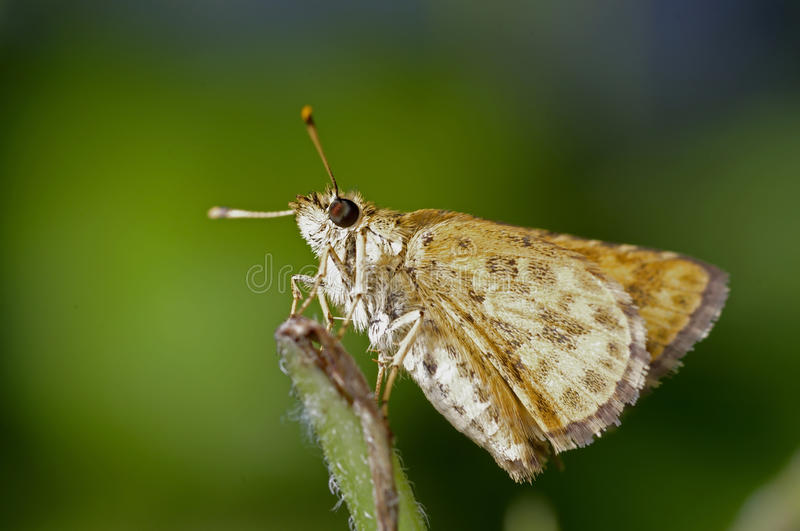 Download Skipper butterfly stock photo. Image of leafs, insects - 29623724