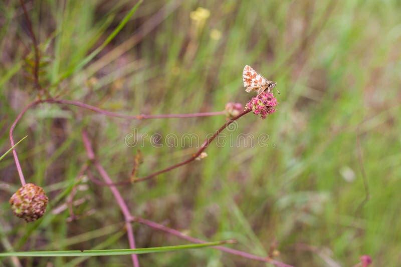Skipper Butterfly on pink mediterranean flower royalty free stock photos