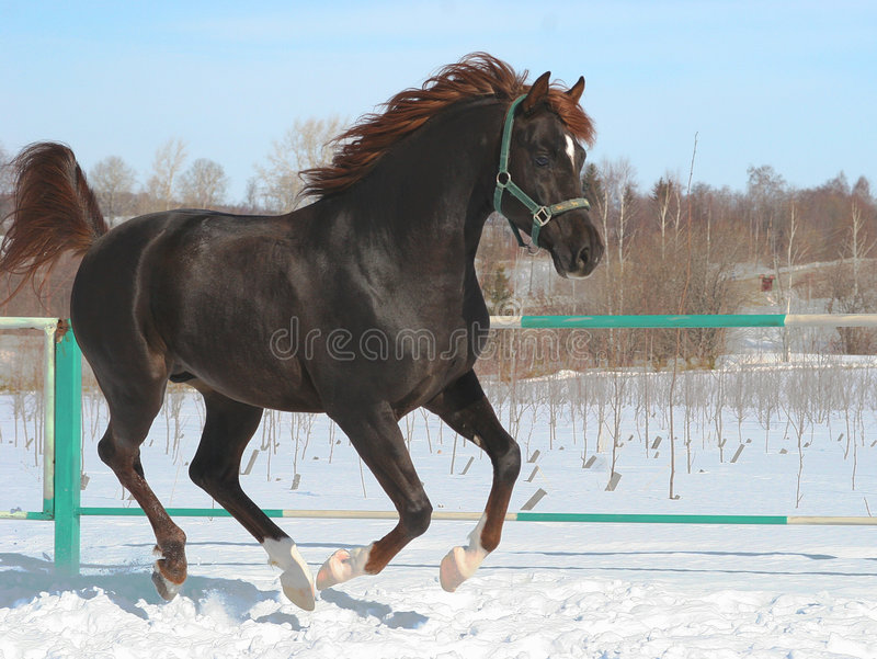 Download Skipping horse. stock image. Image of canter, cold, black - 692159