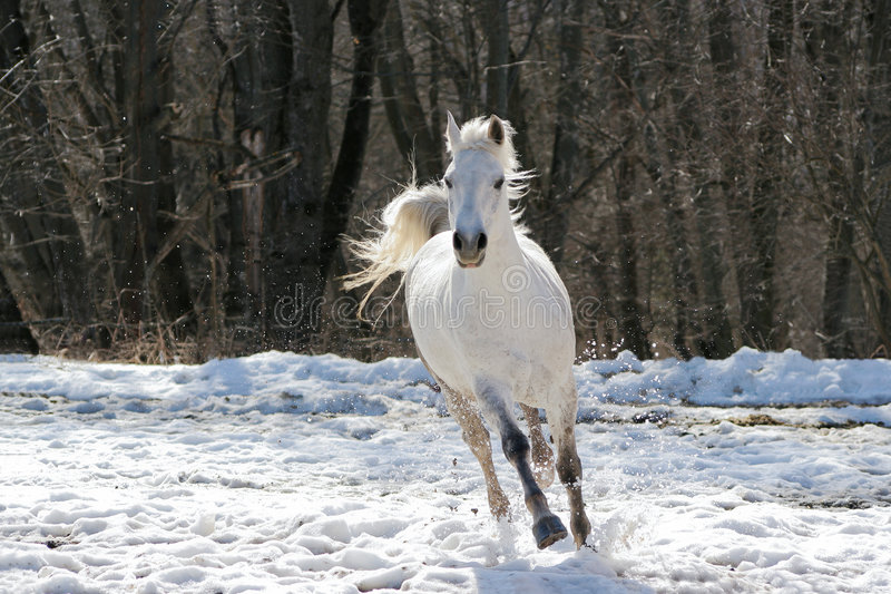 Skipping white horse royalty free stock photography