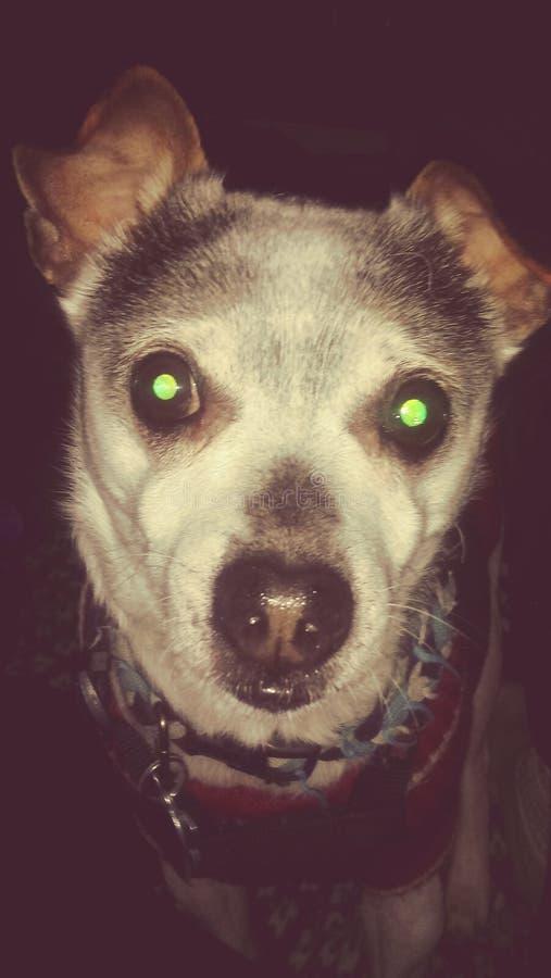 Skippy il cane immagine stock libera da diritti