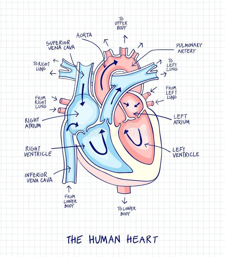 Skissa av mänsklig hjärtaanatomi, fodra och färga på en rutig bac vektor illustrationer