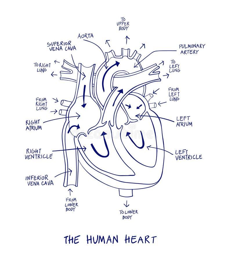 Skissa av mänsklig hjärtaanatomi på blålinjen på en vit bakgrund royaltyfri illustrationer