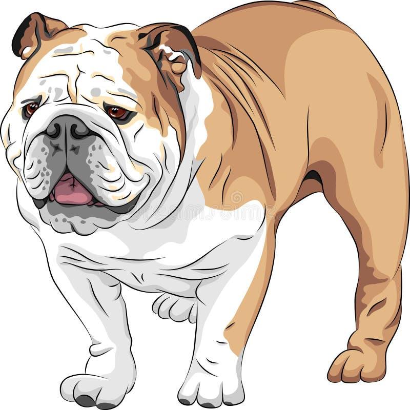 Skissa den engelska bulldoggaveln för hunden royaltyfri illustrationer