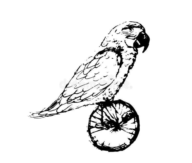 Skissar av papegoja på cykeln vid en svart linje royaltyfri illustrationer