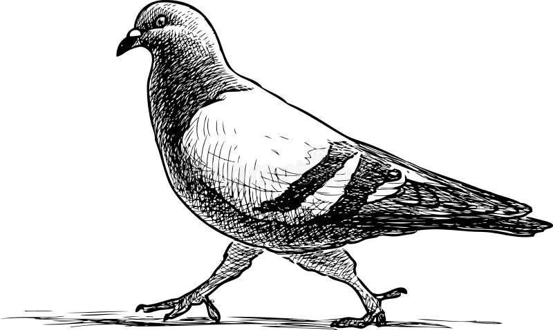 Skizze einer Taube geht auf einen Spaziergang stock abbildung