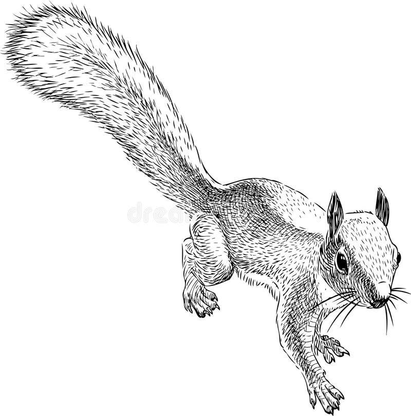 Skizze eines kleinen Waldeichhörnchens vektor abbildung