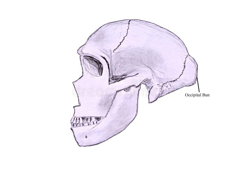 Skizze eines menschlichen Schädels lizenzfreie abbildung