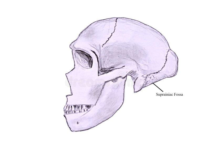 Skizze eines Neanderthaler Schädels vektor abbildung