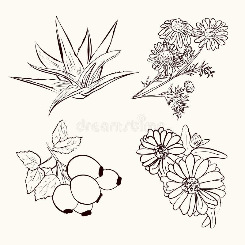 Skizze von Heilpflanzen stock abbildung