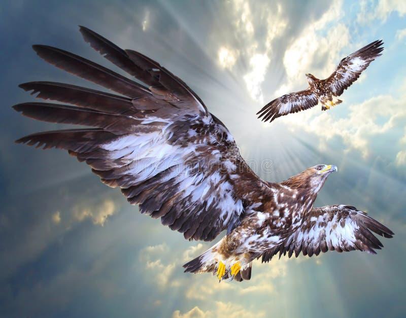 Skjuta i höjden för två örnar royaltyfri foto