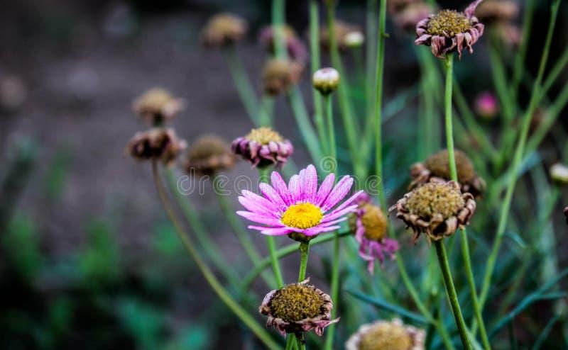 skjutit grunt för makro för blomma för chamomilecloseupdof fotografering för bildbyråer