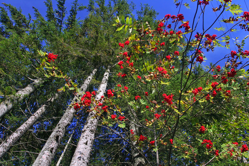 skog över rowantreeskyen royaltyfria bilder