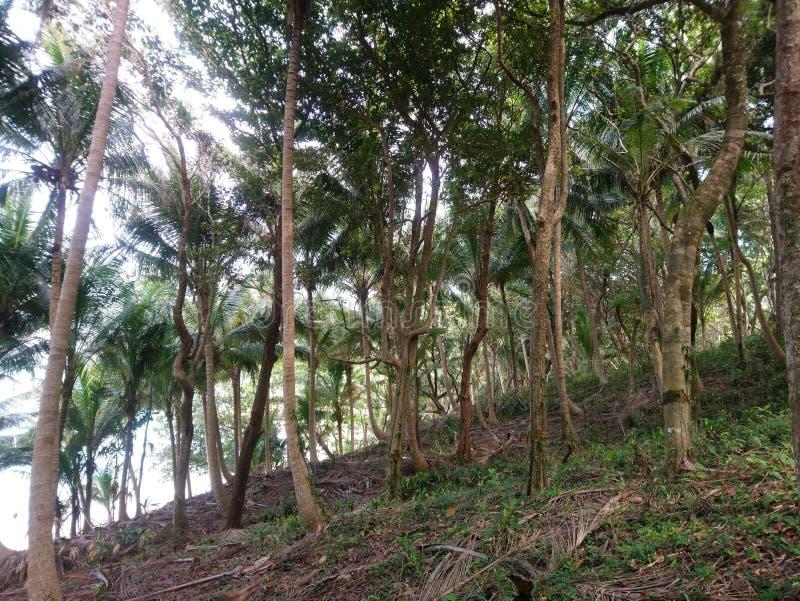 Skog av kokospalmer och stora träd i bättre arkivfoto