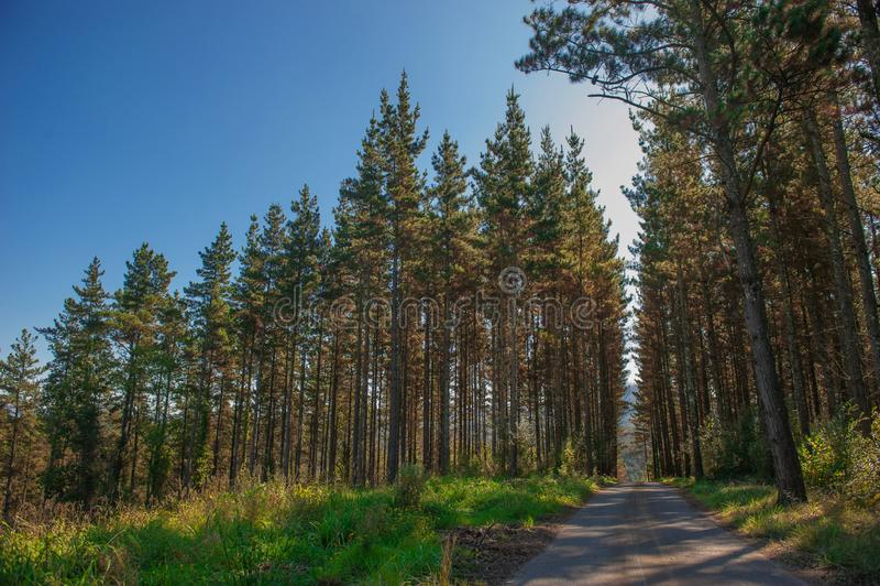 Skog av trees v?g f?r skogkohmak gr?n natur fotografering för bildbyråer