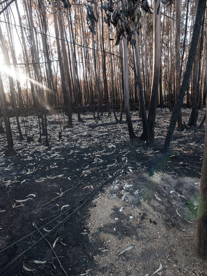 Skog efter brand med sidostråloflight royaltyfria bilder