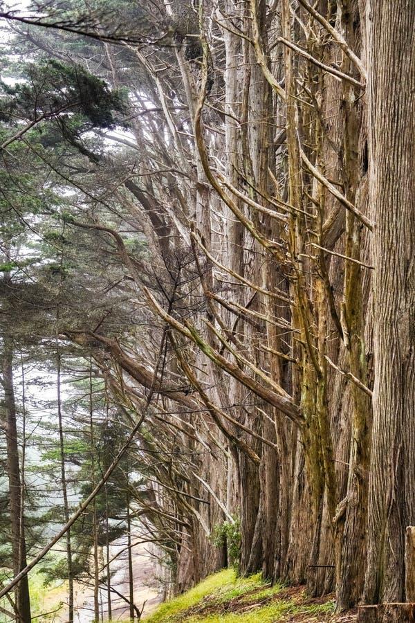 Skog för cypressträd nära Moss Beach, Kalifornien royaltyfri fotografi