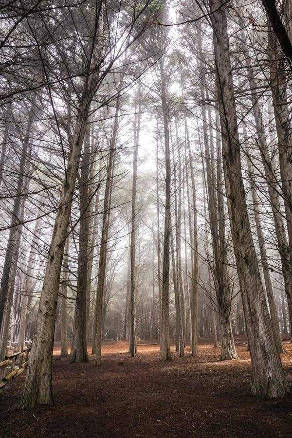 Skog för cypressträd nära Moss Beach, Kalifornien arkivbild