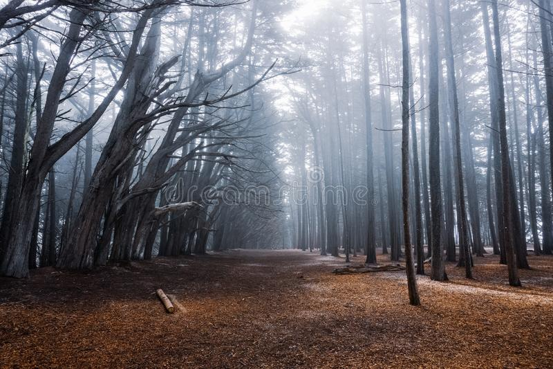 Skog för cypressträd nära Moss Beach, Kalifornien fotografering för bildbyråer