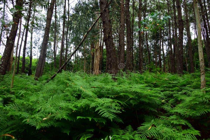 skog för gammal tillväxt för Gammal-tillväxt skog i den sakrala dungen fotografering för bildbyråer
