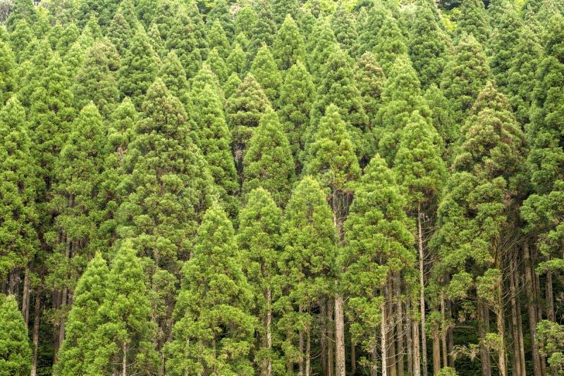 Skog för japanskt cederträ arkivbild