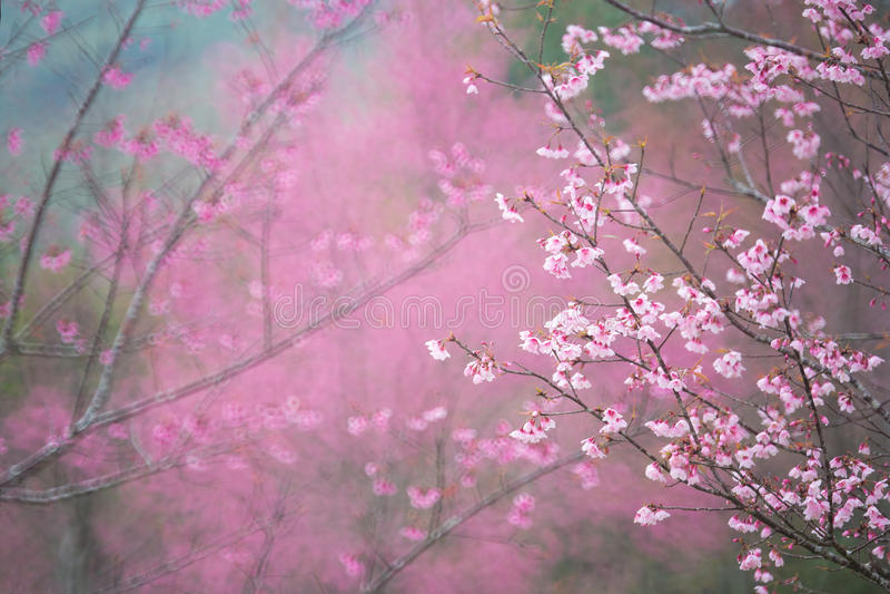 Skog för körsbärsröd blomning arkivfoton