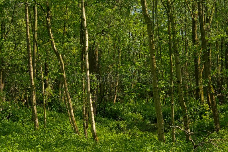 Skog för mystikergräsplanvår i den flemish bygden arkivbilder