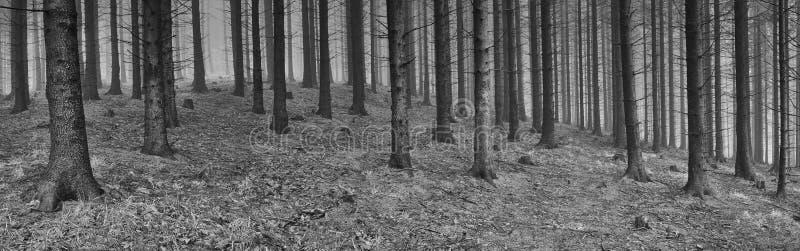 Skog för panoramavårgran fotografering för bildbyråer