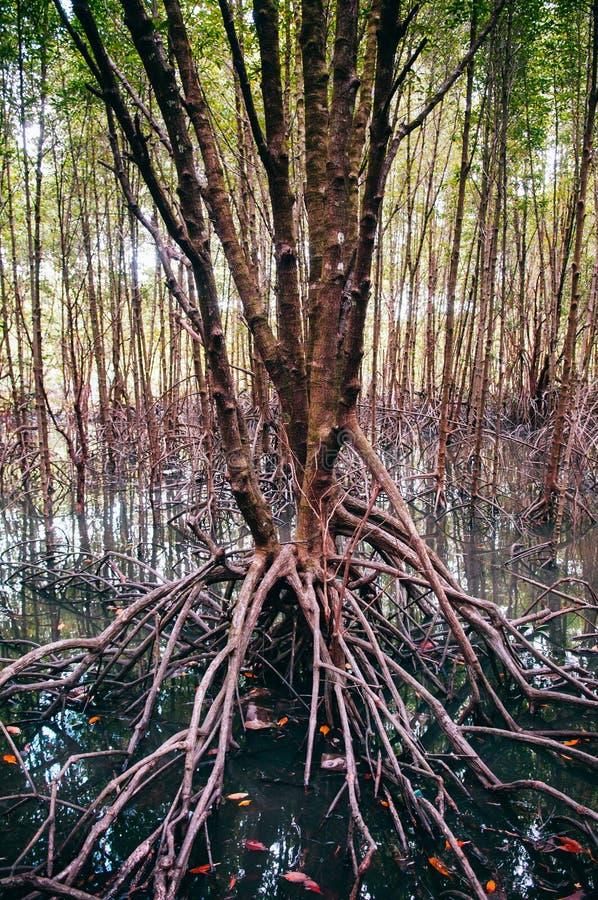 Skog för Thailand tropisk mangroveträsk med det exotiska trädet arkivbild