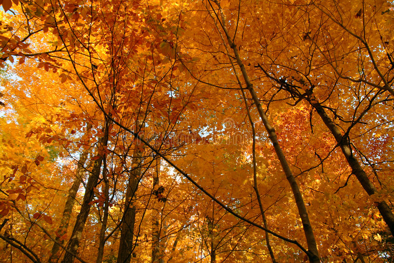 skog guld- oktober arkivbilder