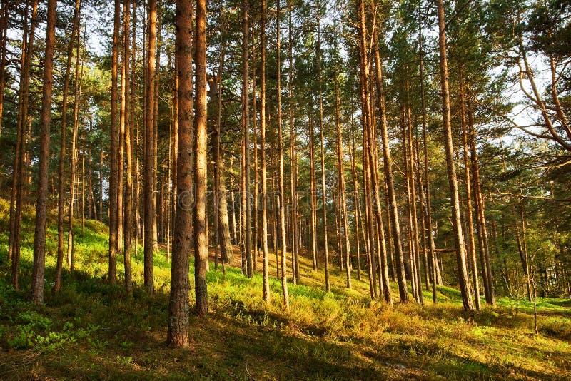 Skog i aftonljus arkivfoto