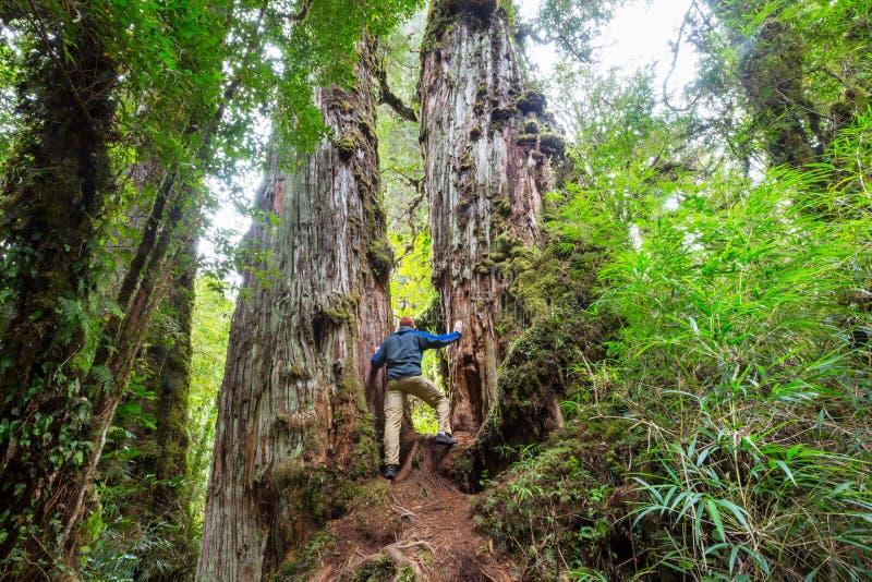 Skog i Chile royaltyfri foto