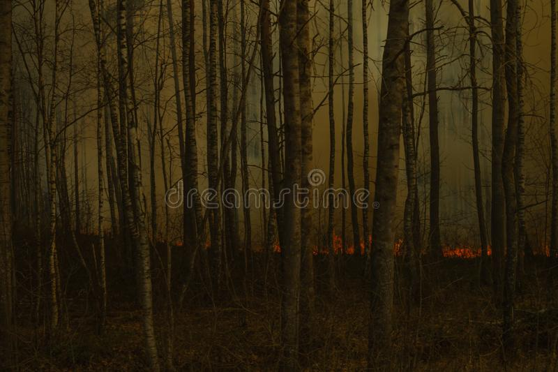 Skog i flammor skogsbrand med rökväggen brand tänder upp till och med björkträden royaltyfri fotografi