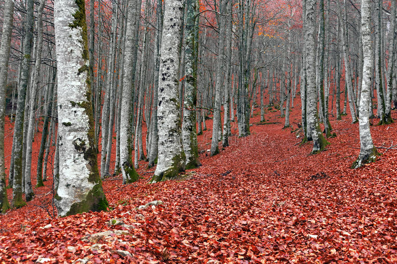 Skog i höst med röda sidor på jordning royaltyfria foton