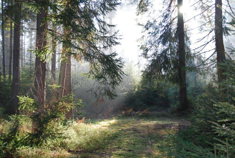 Skog i morgonen arkivfoton