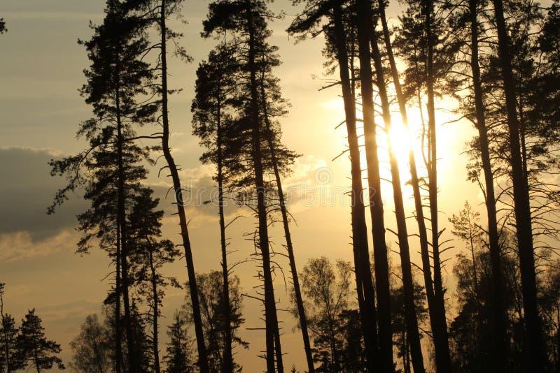 Skog i solnedgången royaltyfri bild
