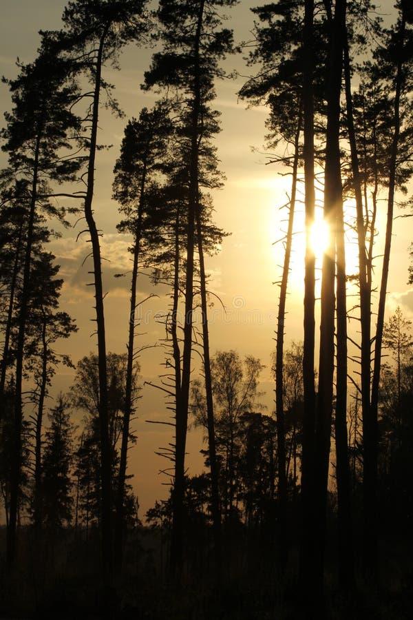 Skog i solnedgången royaltyfri foto