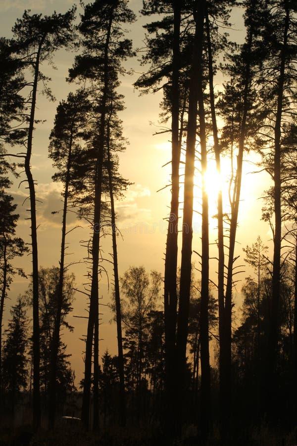 Skog i solnedgången royaltyfri fotografi