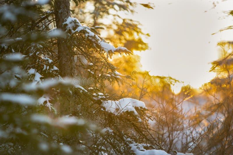 Skog i vinter p? solnedg?ngen arkivfoto