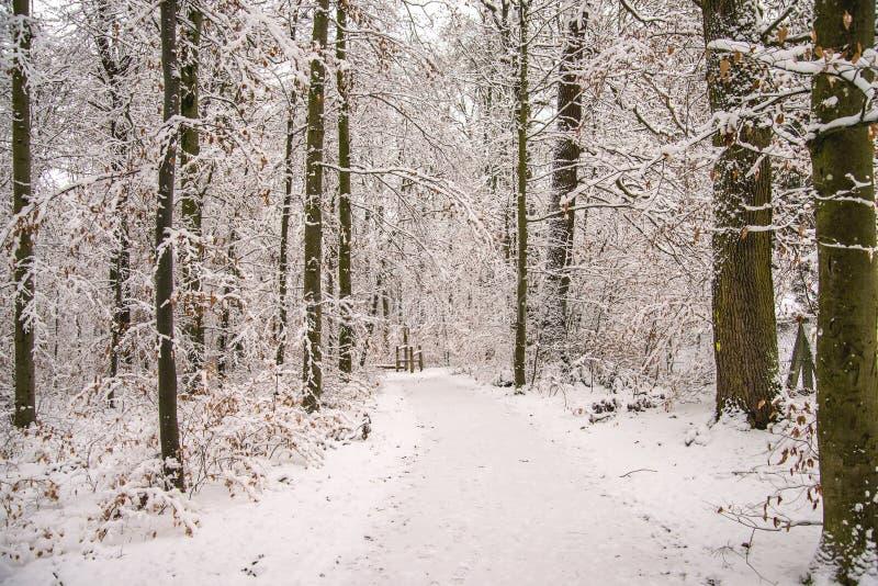 Skog med insnöad djup vinter royaltyfri foto