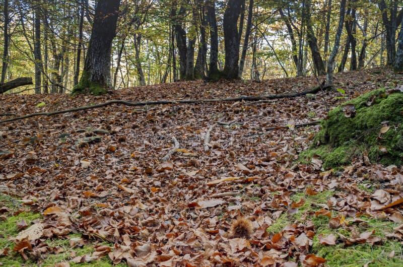 Skog med matta av sidor och kastanjebrun krullning royaltyfri fotografi