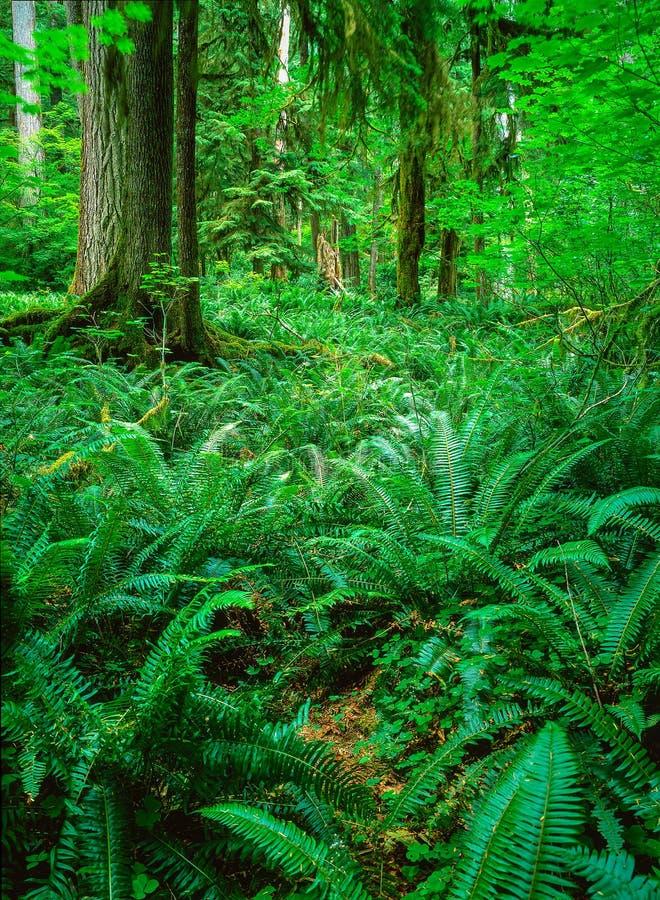 Skog med ormbunken fotografering för bildbyråer