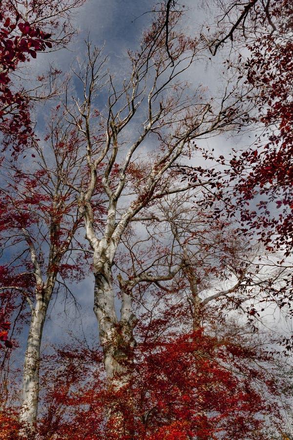 Skog med röd lövverk royaltyfri foto