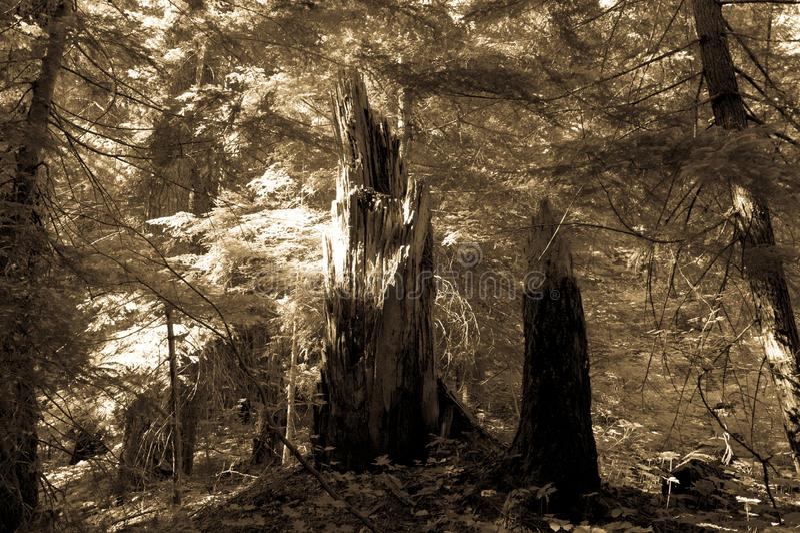 Skog nära kanjonen för ask för Mount Rainier ` s royaltyfri fotografi