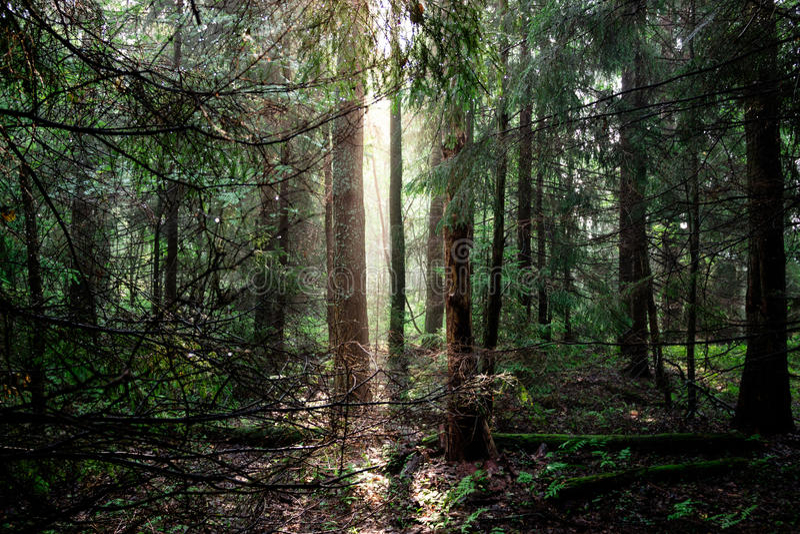 Skog på gryning royaltyfria bilder
