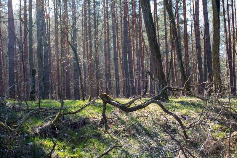 Skog som ses i tidig vår arkivfoto