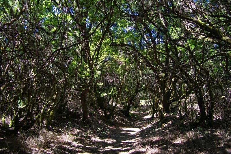 Skog Spanien för El Hierro - Laura Silva arkivfoto