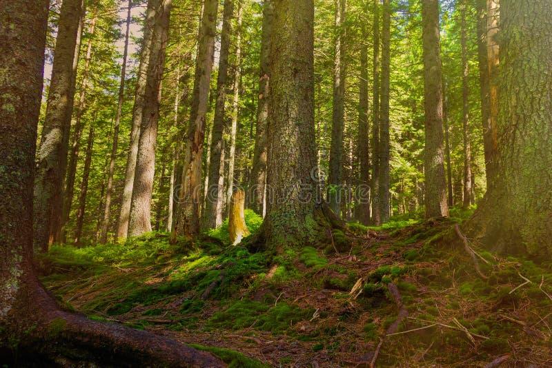 Skogbergslingan passerar till och med en prydlig skog som tvinnas med trädet, rotar Beteckning av en turist- rutt h?rligt royaltyfri foto