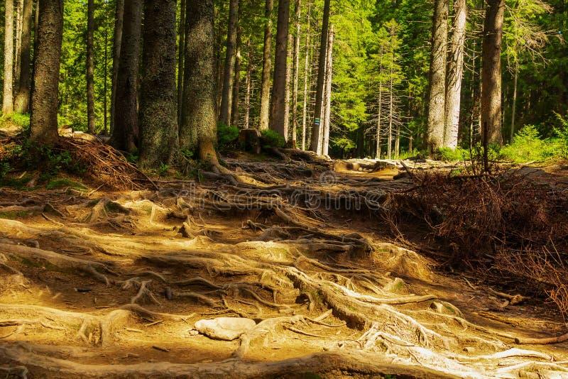 Skogbergslingan passerar till och med en prydlig skog som tvinnas med trädet, rotar Beteckning av en turist- rutt h?rligt arkivfoto